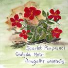 Scarlet Pimpernel by Sheila Jones
