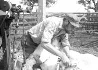 Alan Bush, shearing, Pantyrhuad