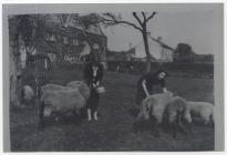 Sheepfarming at Great House, Aberthin 1930s