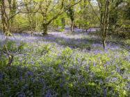 Bluebells Penparcau woods