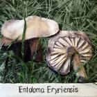 Entoloma eryriensis by Marysia Penn