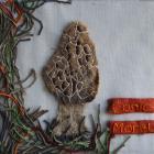 Conic Morel by Brenda Dayson