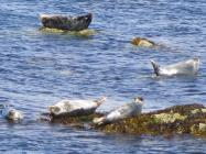 The Mermaid's Song: Atlantic grey seals on...