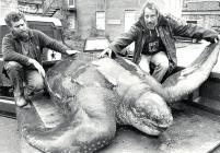 Record-breaking Leatherback Turtle, Harlech 1988