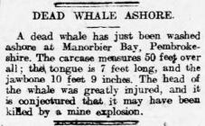 Dead whale ashore - Article from Llais Llafur,...