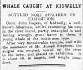 Whale caught at Kidwelly - Article from The...