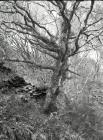 Ceinws/Esgairgeiliog;  a gnarled old oak tree