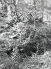 Ceinws/Esgairgeiliog. Trees and under  growth...