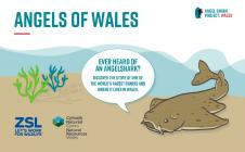 Angels of Wales, an interactive Angelshark...