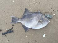 Triggerfish - Porth Trecastell