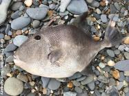 Triggerfish (Balistes capriscus) find