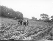 An arable field with farm workers c.1890-1910