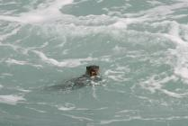 Eurasian otter in Ramsey Sound, 2011