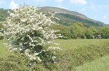 May Blossom Near Godre'r Graig, Glamorgan