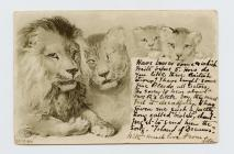 Postcard of a family of lions, 1901
