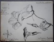Convulvulus Sepium, on Marian, Caerwys, Aug...