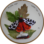 Garden Tiger Moth by Judy Chaudhri