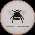 White-tailed Bumblebee gan Lynda Hill