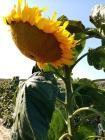 Rhossili Sunflowers, 2021